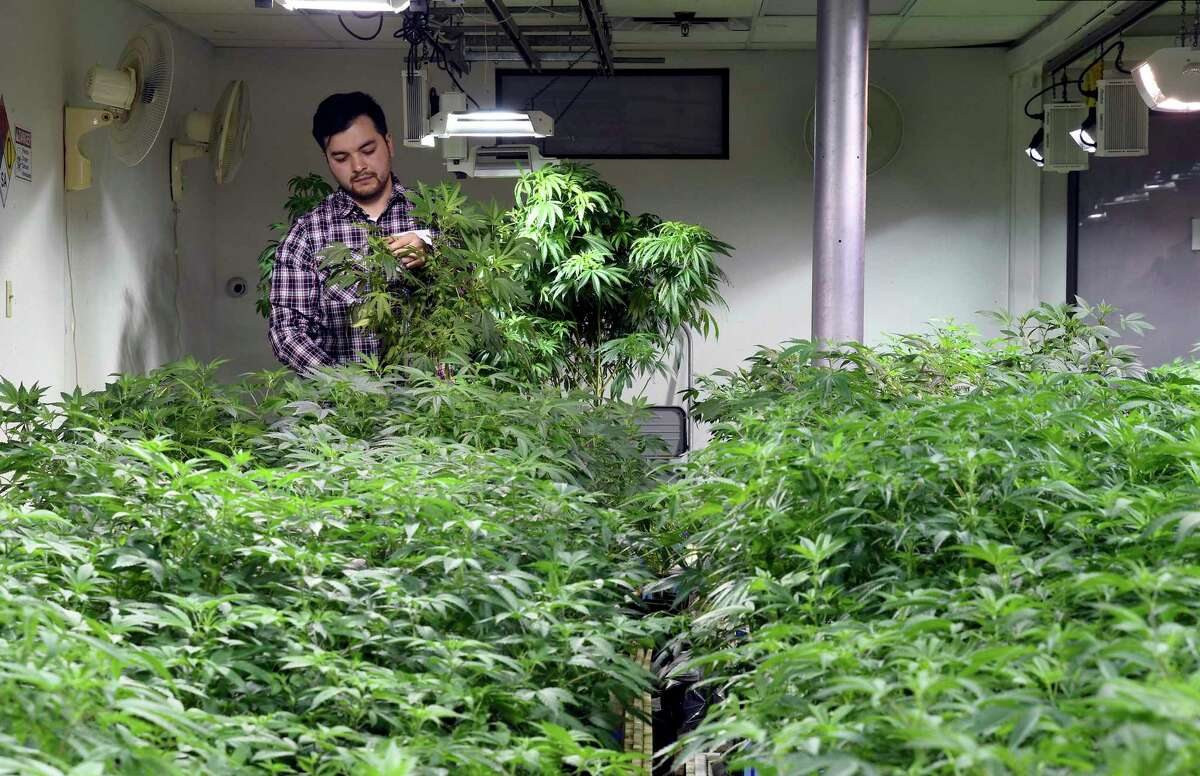 A worker picks dead leaves from marijuana plants at the grow facility where he works near downtown Denver in 2019.