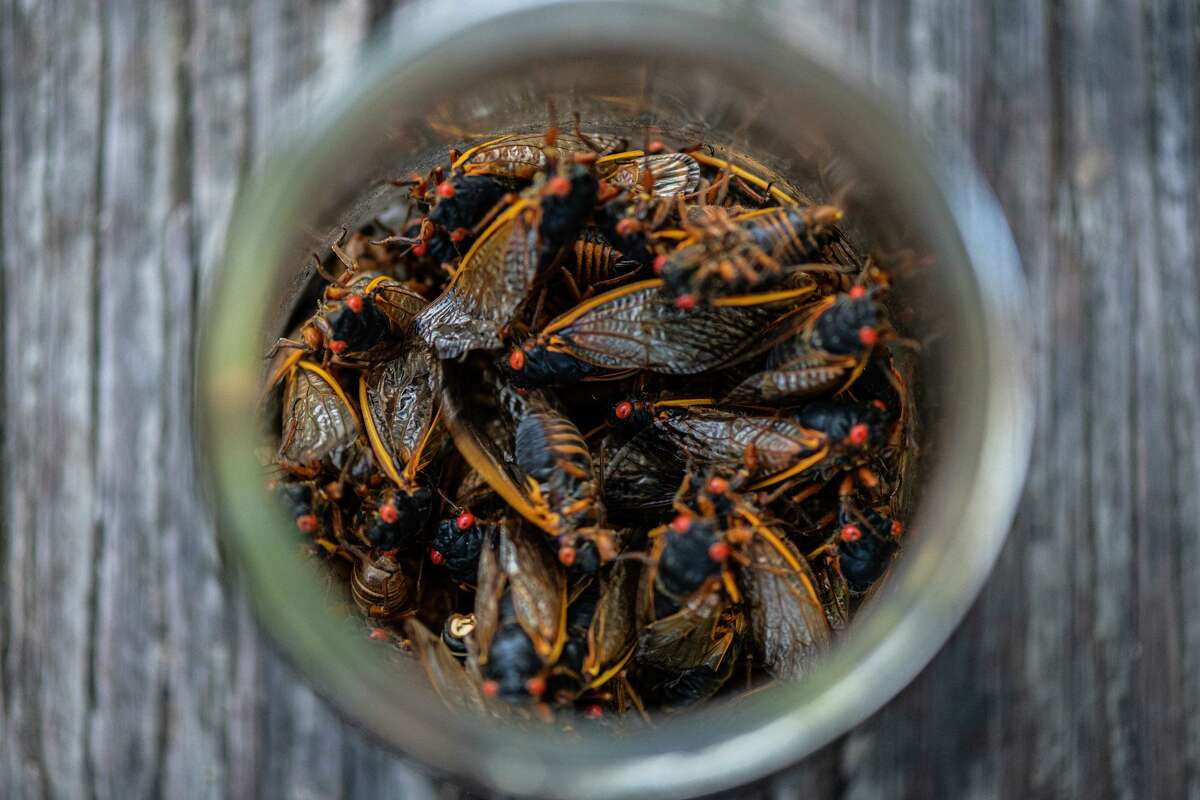 Cicadas pictured in a bowl, ready for Bun Lai to incorporate them into a recipe.