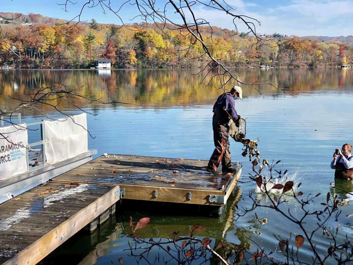 Lake Waramaug Task Force members stock the lake with trout, which has been helping keep zooplankton plentiful and cyanobacteria at bay, not to mention delighting anglers.