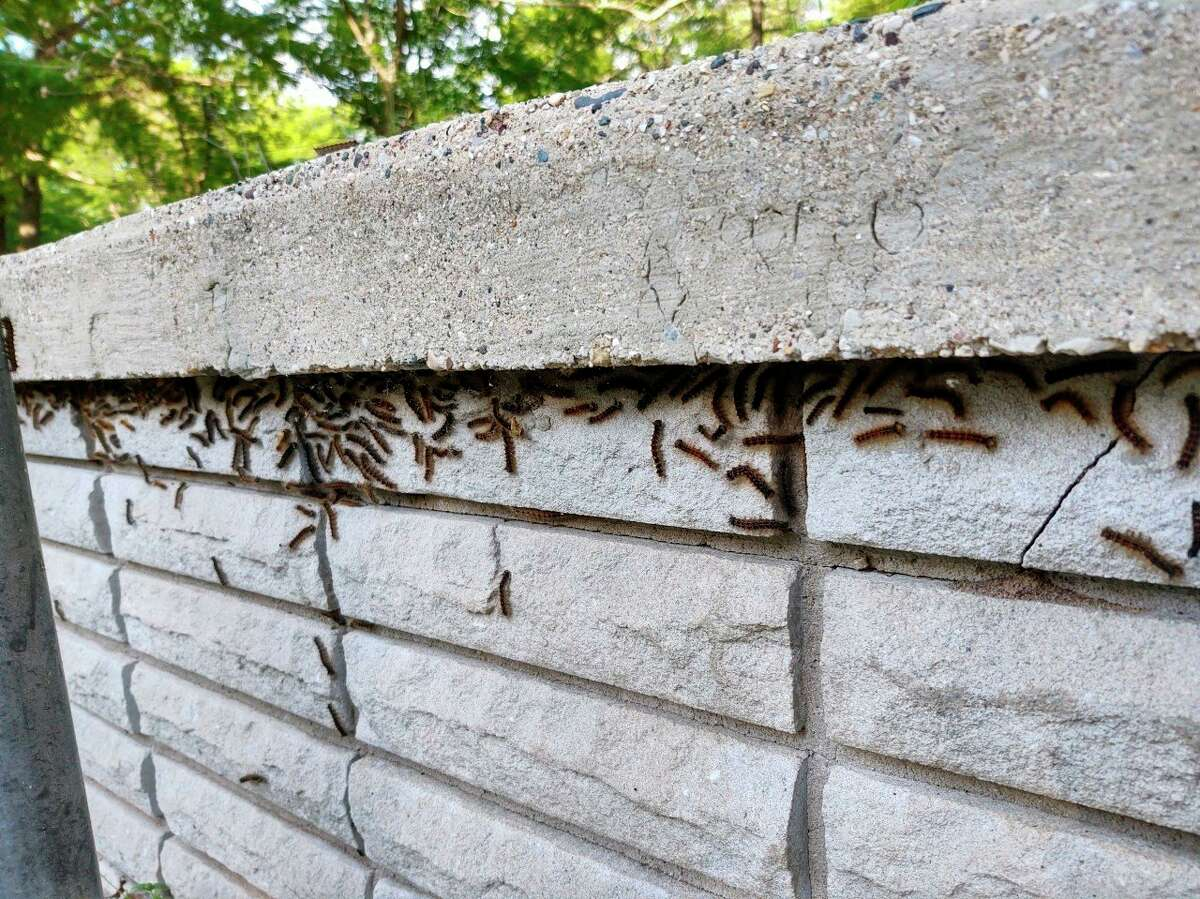 Gypsy moth larvae can be found congregating along retaining walls and on concrete pathways on Morton Township resident Mike Quillen's property. (Submitted photo)