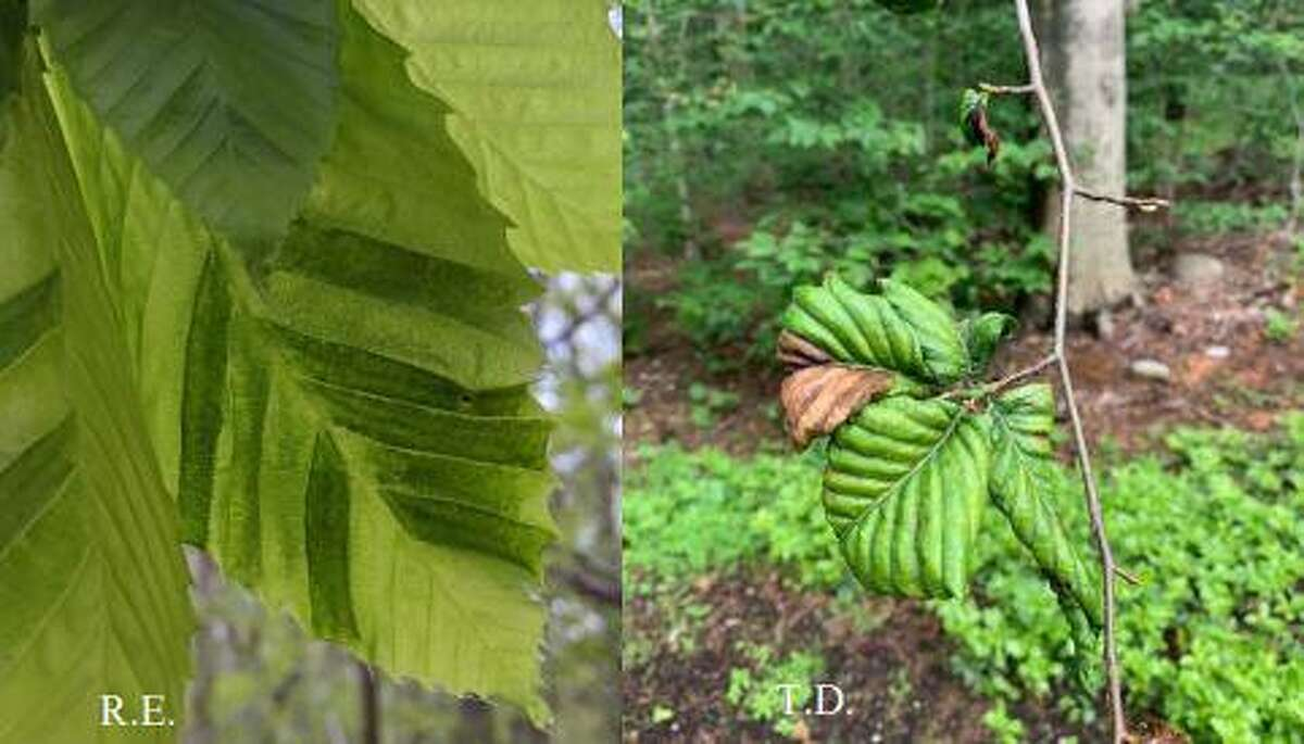 An example of Beech Leaf Disease.