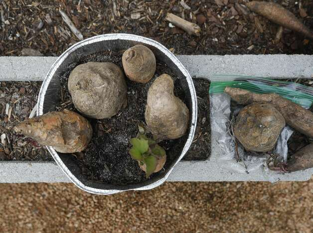 Sweet potatoes are seen during BrightLife's gardening outing at The Woodlands Family YMCA, Wednesday, June 9, 2021, in The Woodlands. The program, which runs every Monday through Thursday for high school and adults, is part of the organization's outreach for special needs adults. Photo: Jason Fochtman/Staff Photographer / 2021 © Houston Chronicle