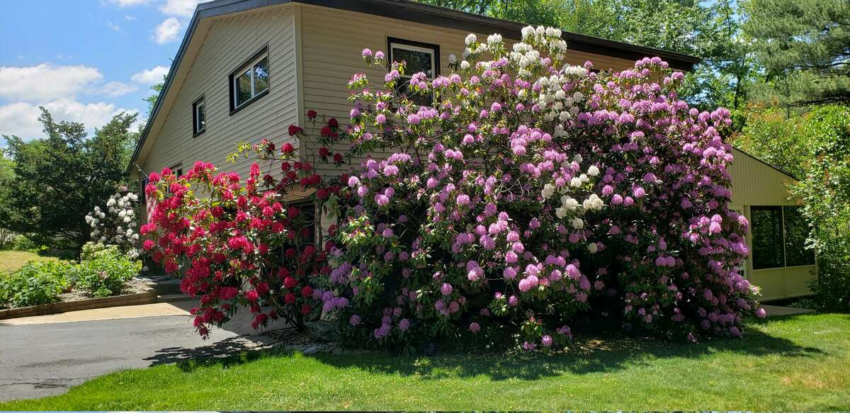 """""""Our rhododendrons are very large and cover the side of our house. We get lots of comments from our neighbors,"""" say Dave and Lyn Lamanna of Latham."""