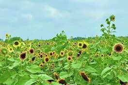 10-acre Sunflower field at Trader's Village