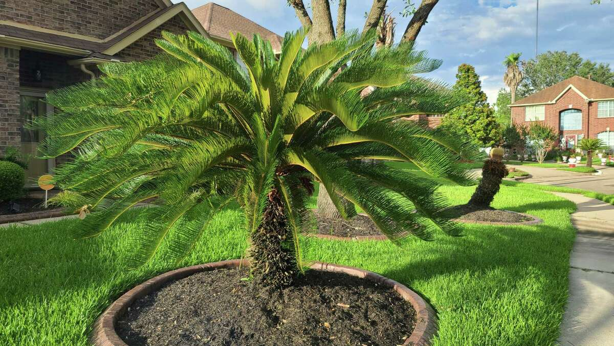 Mature sago palms will flush out only once a year.