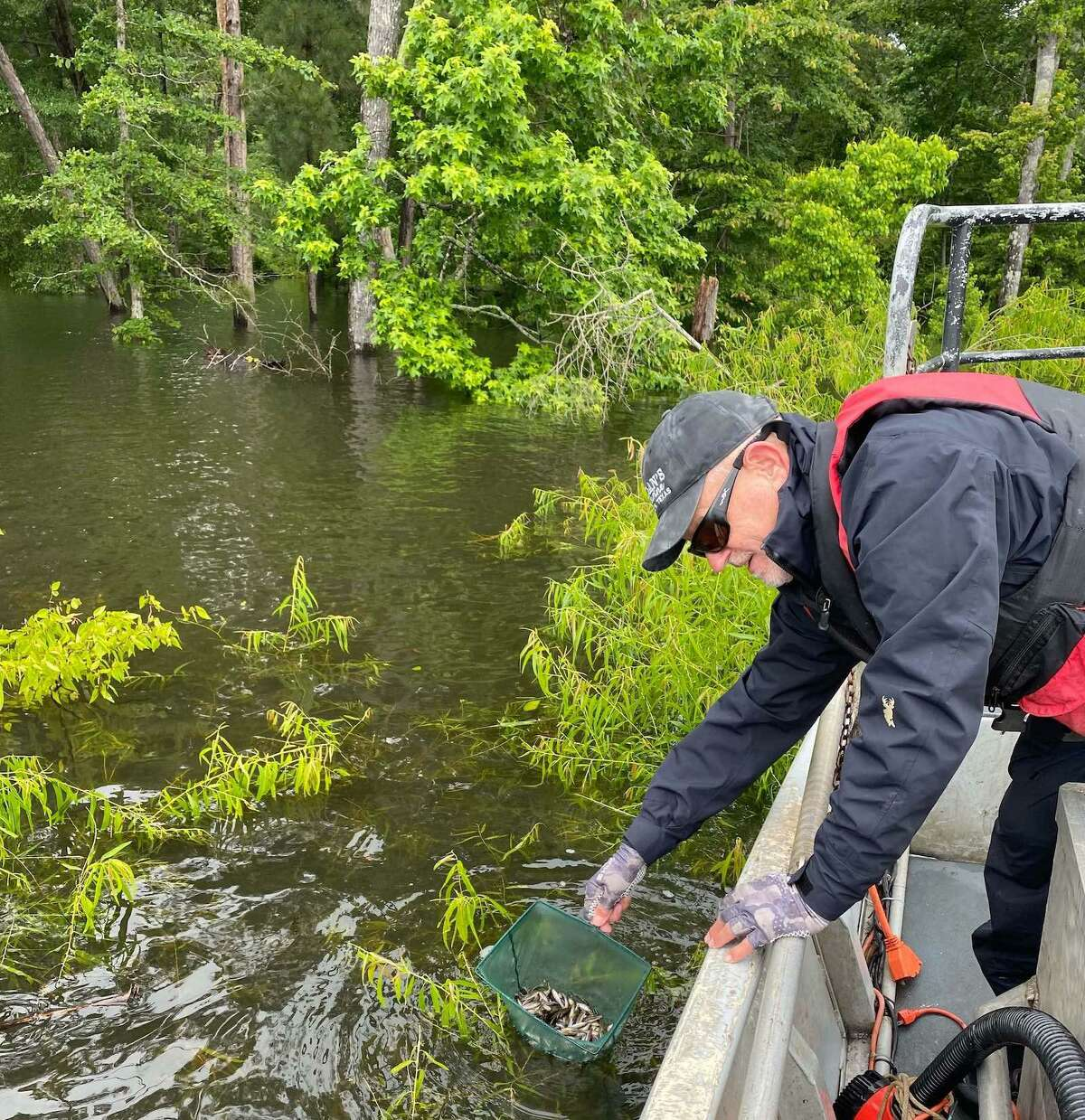 In coming weeks, Texas Parks and Wildlife inland fisheries crews will be stocking numerous lakes with Florida bass fingerlings produced by state hatcheries this spring. Local volunteer and fishing guide Brian Branum recently assisted TPWD crews in a stocking effort at Sam Rayburn. Around 350,000 Floridas were released into the rain-swollen reservoir in early June.
