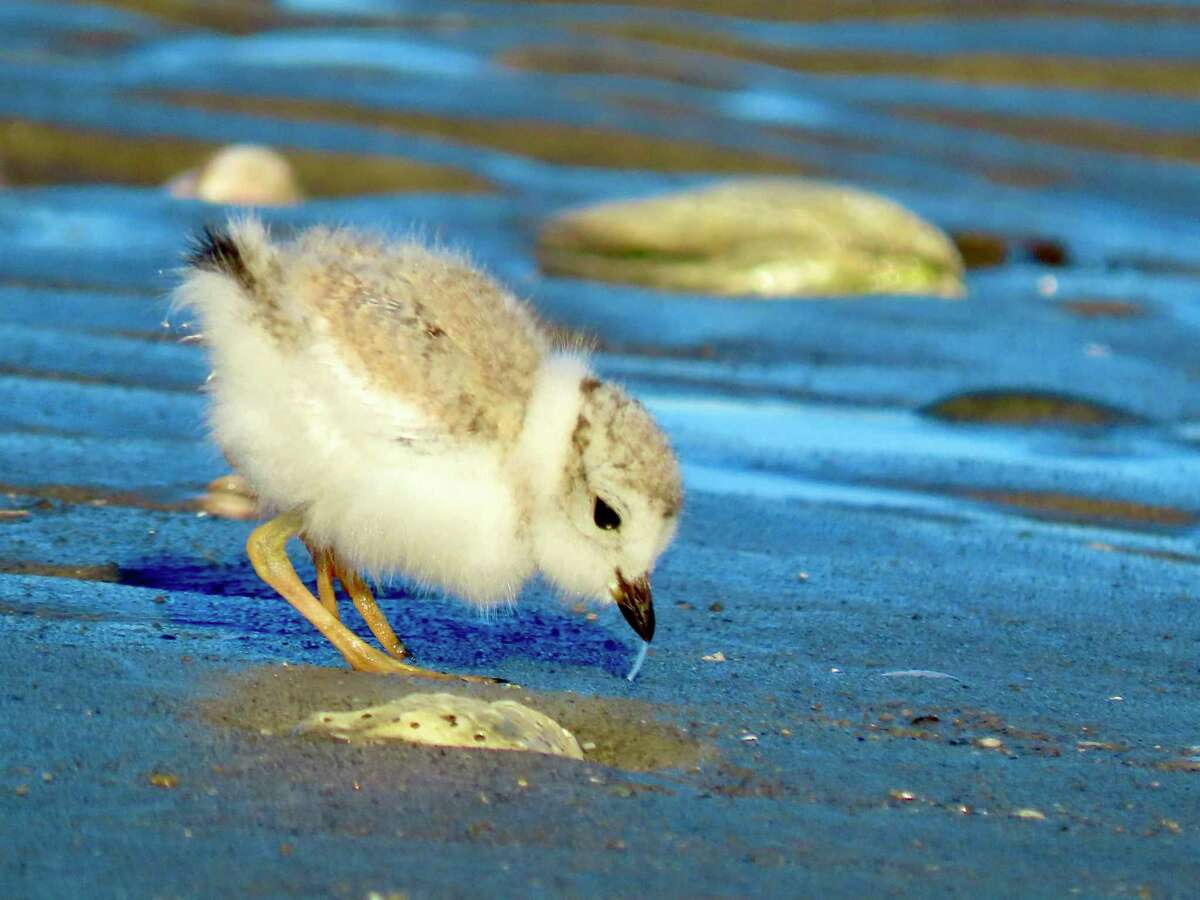 Flooding wiped away the nests of endangered birds at Milford Point in recent days, and the public's care is required for them to recover, according to the Connecticut Audubon Society. Here, a piping plover chick.