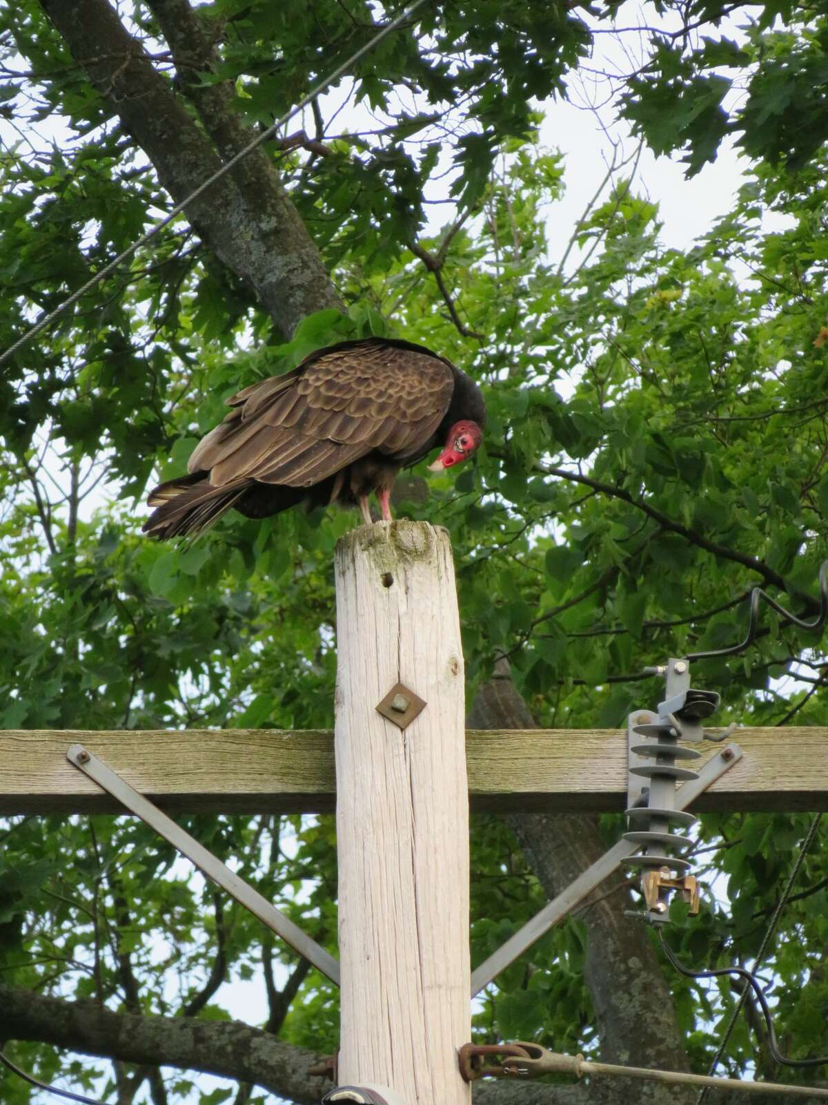 """Cliff Prewencki of Delmar says: """"As I was performing my usual lawn chores one recent evening, I was startled by the sudden presence of a flock of turkey vultures. One sat placidly on top of a nearby telephone pole while the others flitted among the trees or simply sat in silence on the branches. They must be shy creatures, for when my weeding took me just a couple of feet closer they vanished as silently as they came."""""""