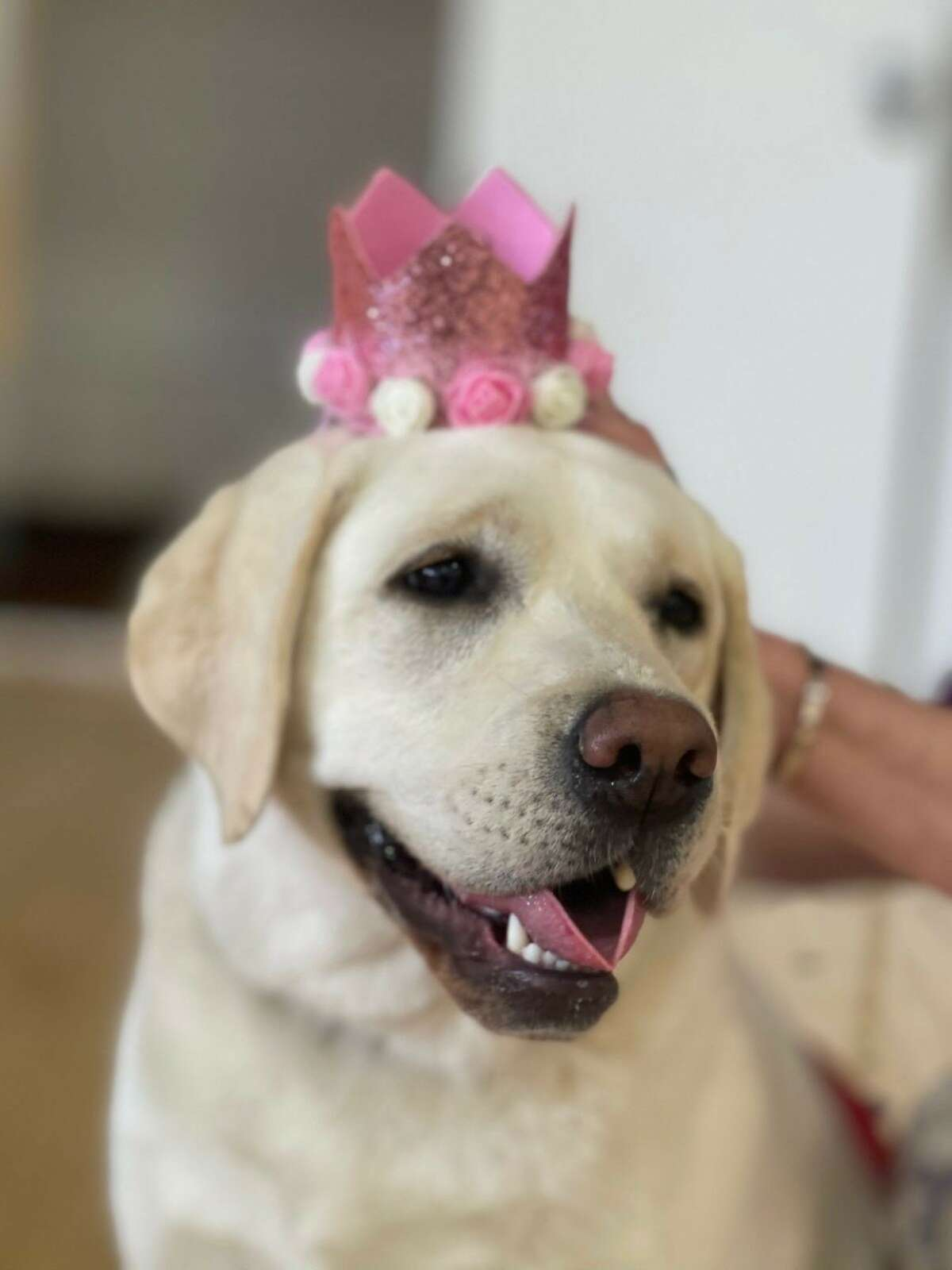 Zinnia, a service dog who works at Bishop Maginn High School in Albany, was crowned prom queen by the senior class.