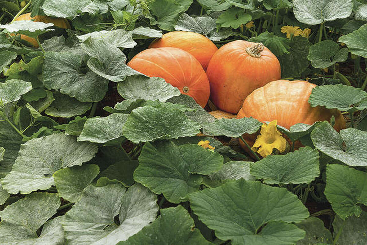 Pumpkins are warm-weather-loving vegetables that must be planted after all chances of frost. The traditional jack-o-lantern pumpkins take about 110 days to mature.
