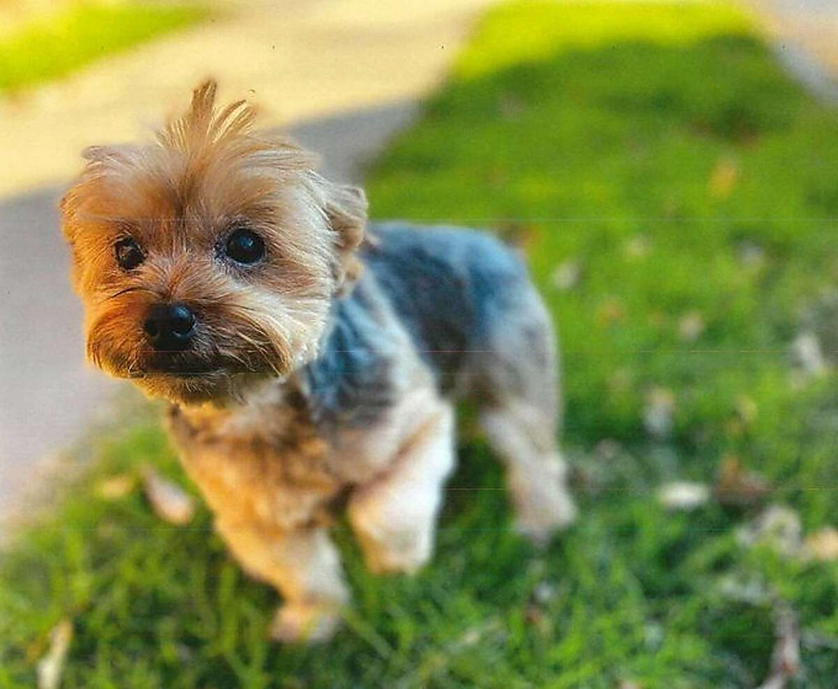 Leo, a 10-year-old Yorkshire terrier, has been reunited with his owners, who were visiting San Francisco to celebrate their 12th wedding anniversary.