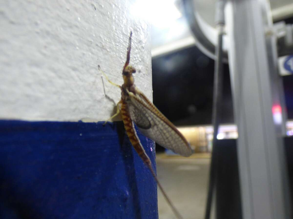 A mayfly at a gas pump in Manistee Saturday is one of many to emerge this weekend.