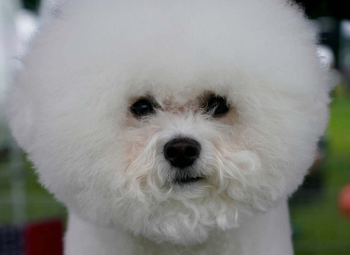 A Bichon Frise in the benching area at the 145th Annual Westminster Kennel Club Dog Show on June 12, 2021 at the Lyndhurst Estate in Tarrytown, New York.