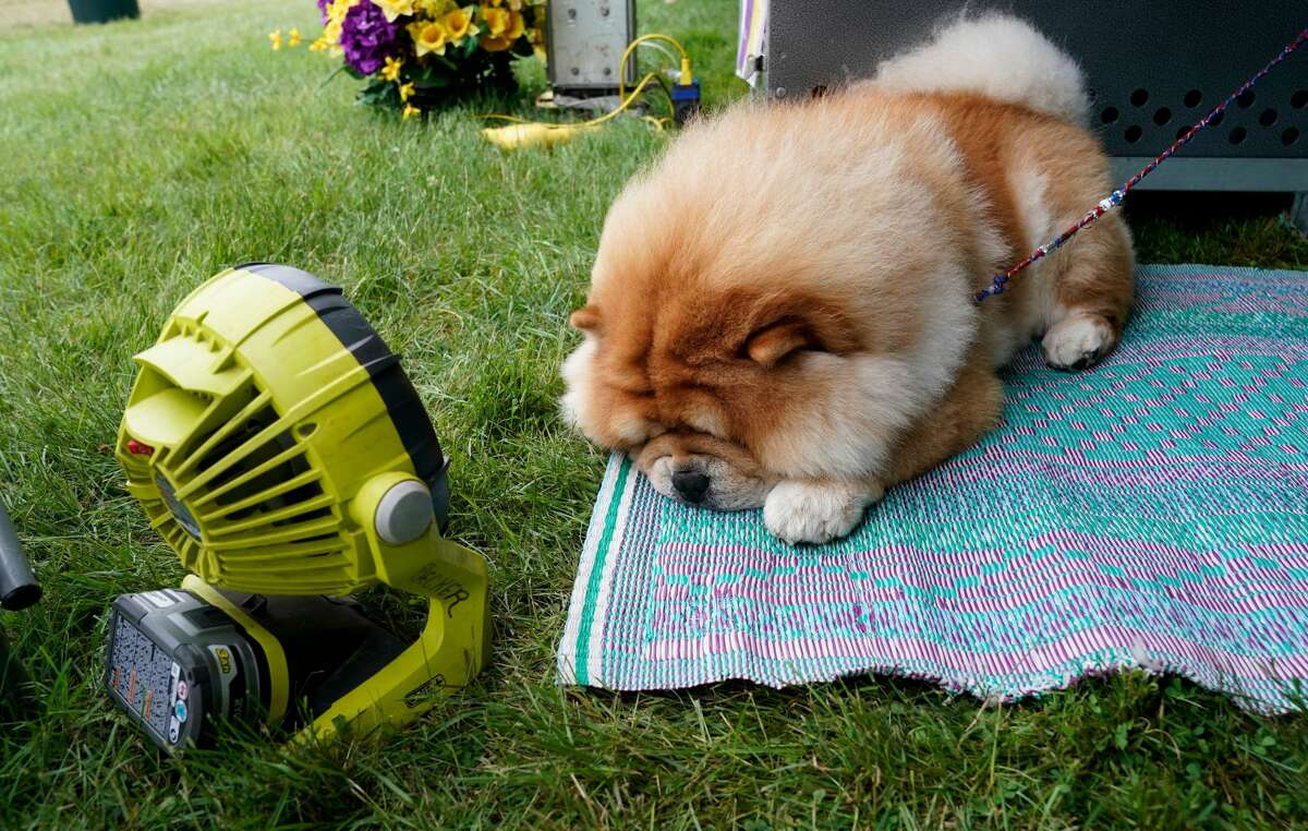 A Chow Chow cools off in the judging area at 145th Annual Westminster Kennel Club Dog Show on June 12, 2021 at the Lyndhurst Estate in Tarrytown, New York.