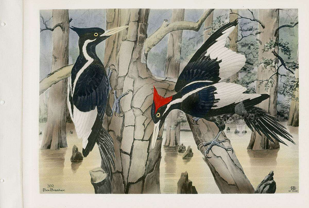 Ivory-billed woodpeckers in painting by Rex Brasher.