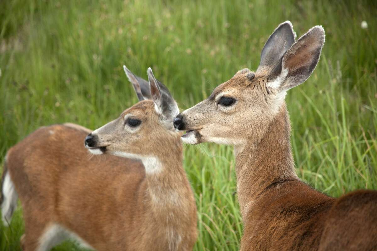 A pair of young black-tailed deer enjoy the cooler temperatures on the Hurricane Ridge in the Olympic Mountains of Washington state.