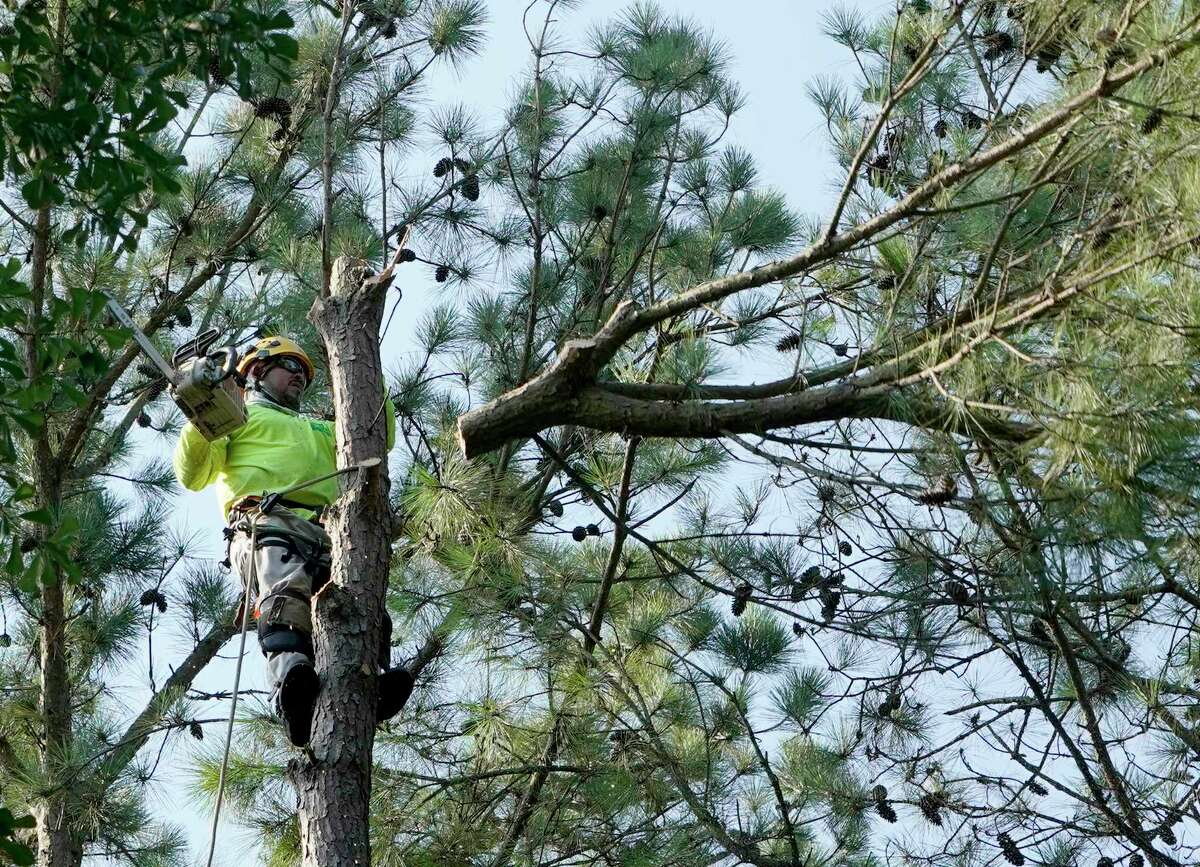 An employee with Jones Road Tree Service cuts a branch off a tree in Tomball.
