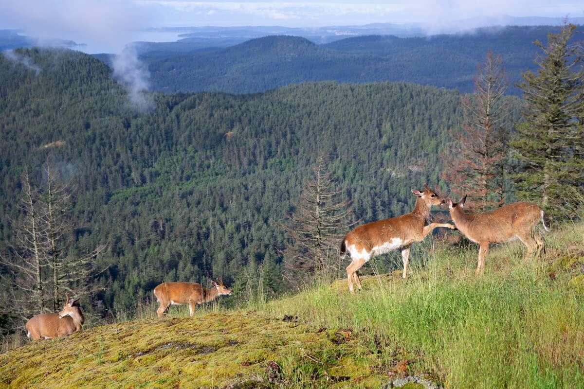 Four deer on a ridge on Orcas Island, Washington.