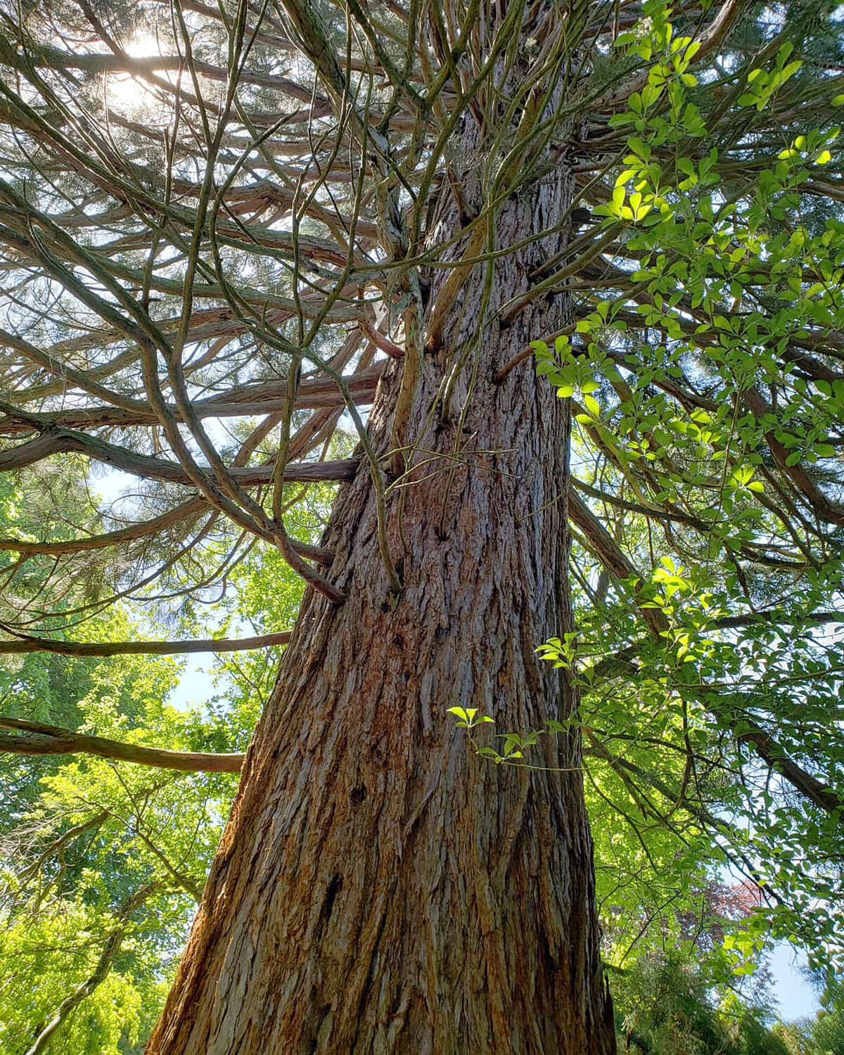 The Lake Bluff Bird Sanctuary's signage about its giant sequoias states that the tree's lower branches die fairly readily from shading but that trees under 100 years old tend to retain those dead branches.