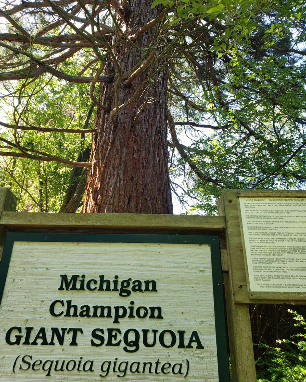 Manistee's Lake Bluff Bird Sanctuary is home to several giant sequoias that were planted about 73 years ago.