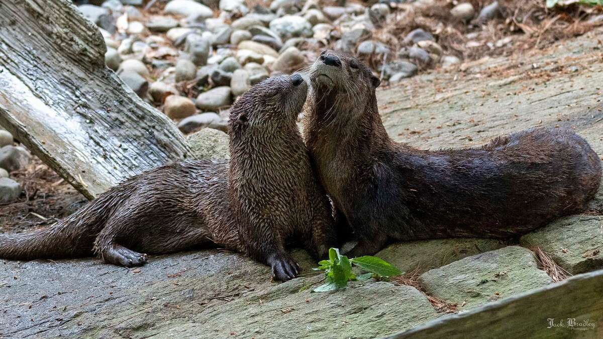 The Beardsley Zoo recently welcomed a new otter, Sedge, to their otter river otter habitat. Sedge is settling in with his new pal Tahu.