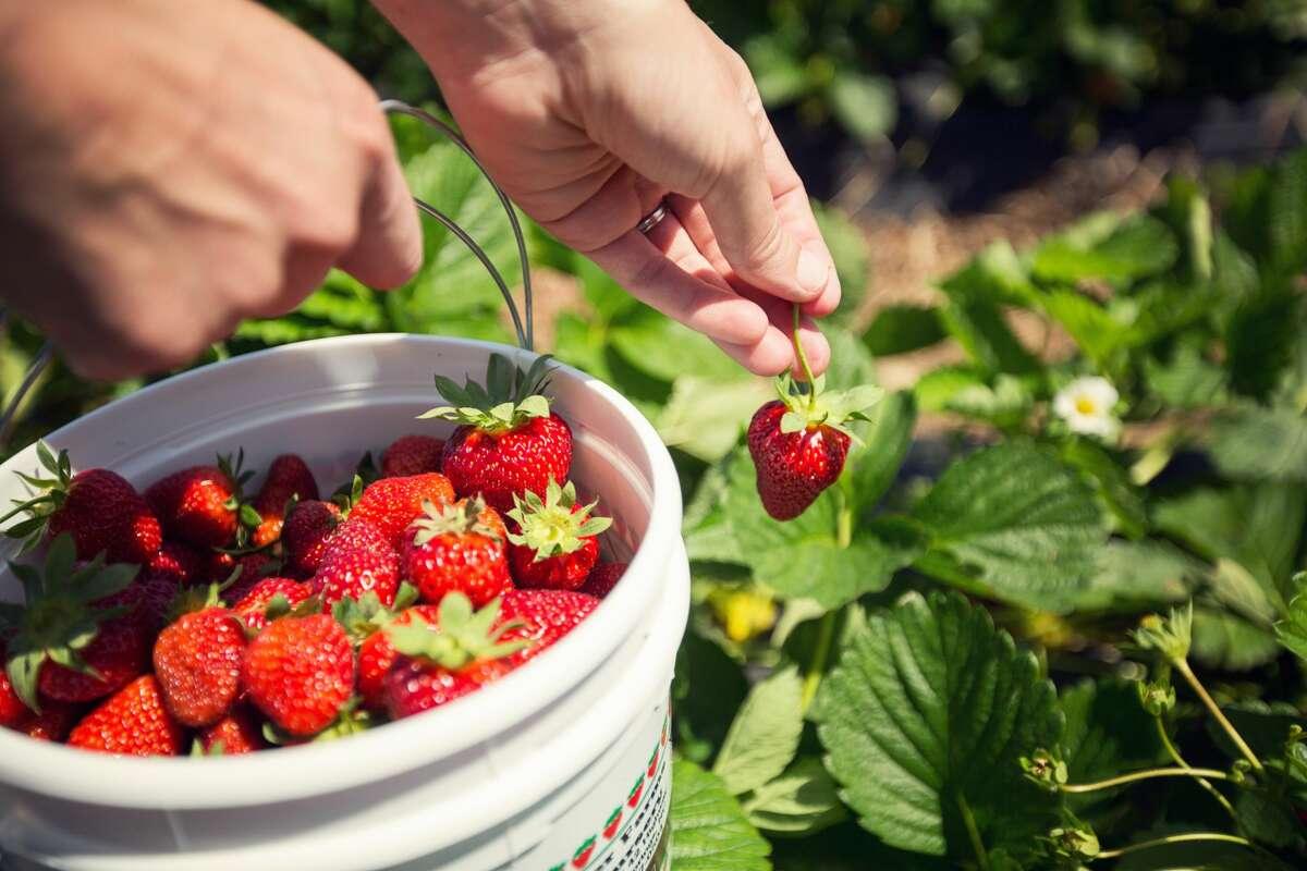 Bucket full of fresh strawberries.