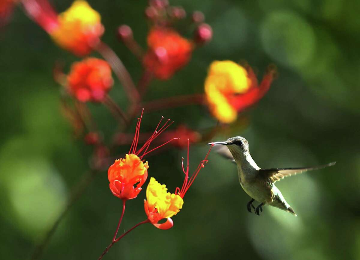 Hummingbirds are drawn to flowering bushes, like this Pride of Barbados