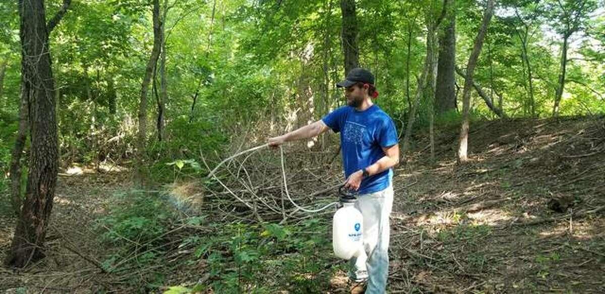 Volunteer Mickey Davis sprays bush honeysuckle after it has been cut down.