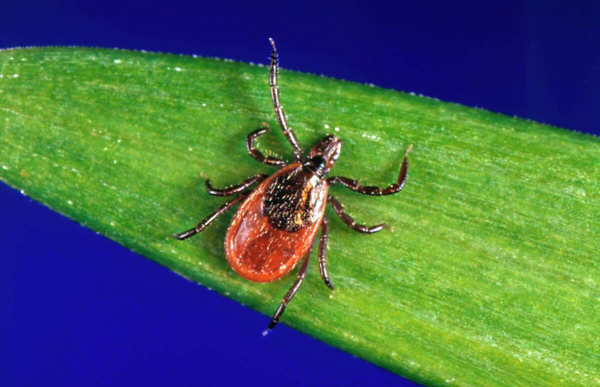 Blacklegged ticks are an emerging threat in Michigan, according to the Michigan Department of Health and Human Services. They can be found on low forest vegetation, often along human and animal trails. Lyme disease is the most common tick-borne disease in Michigan. (Photo by Smith Collection/Gado/Getty Images).