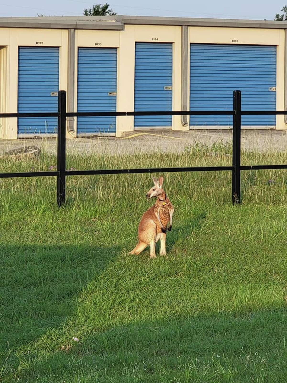 It took about 10 to 15 minutes to get the wallaby, Calaerner says.