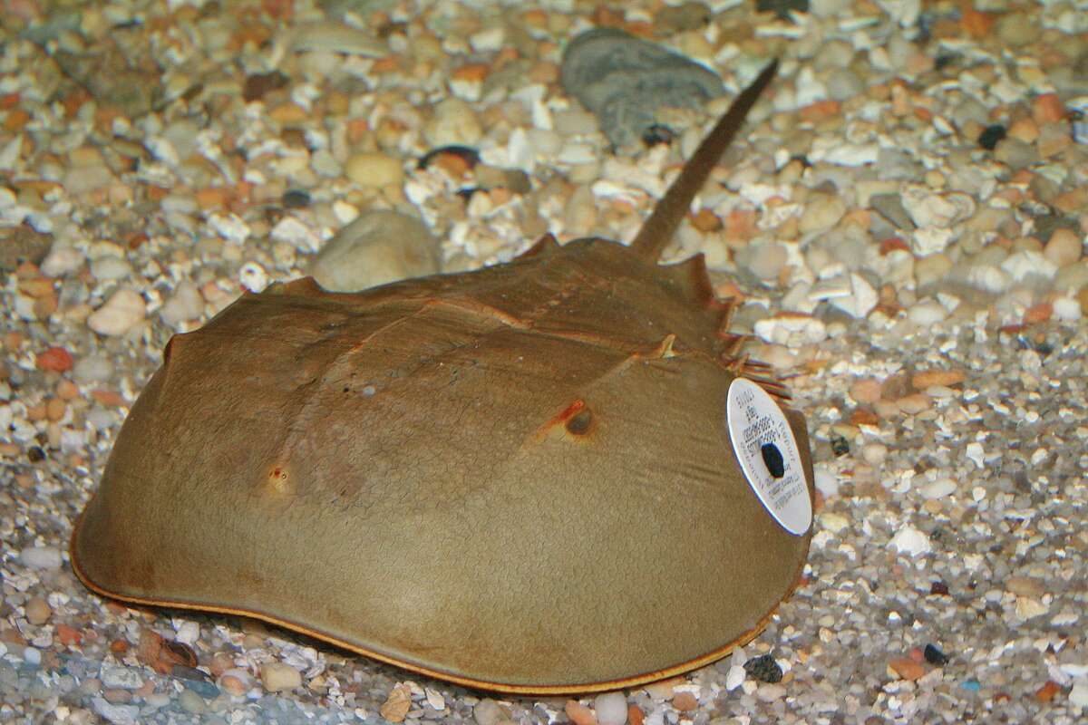 A tagged horseshoe crab is shown on a Connecticut beach as part of the annual Project Limulus census led by Sacred Heart University Professor of Biology Jennifer Mattei in Fairfield.
