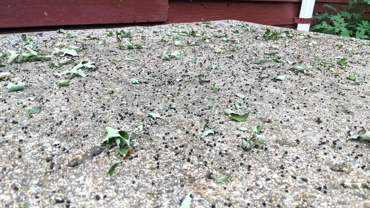 Many residents are dealing with gypsy moth caterpillar droppings covering their driveways and walkways as shown in this photo from Marlies Manning.