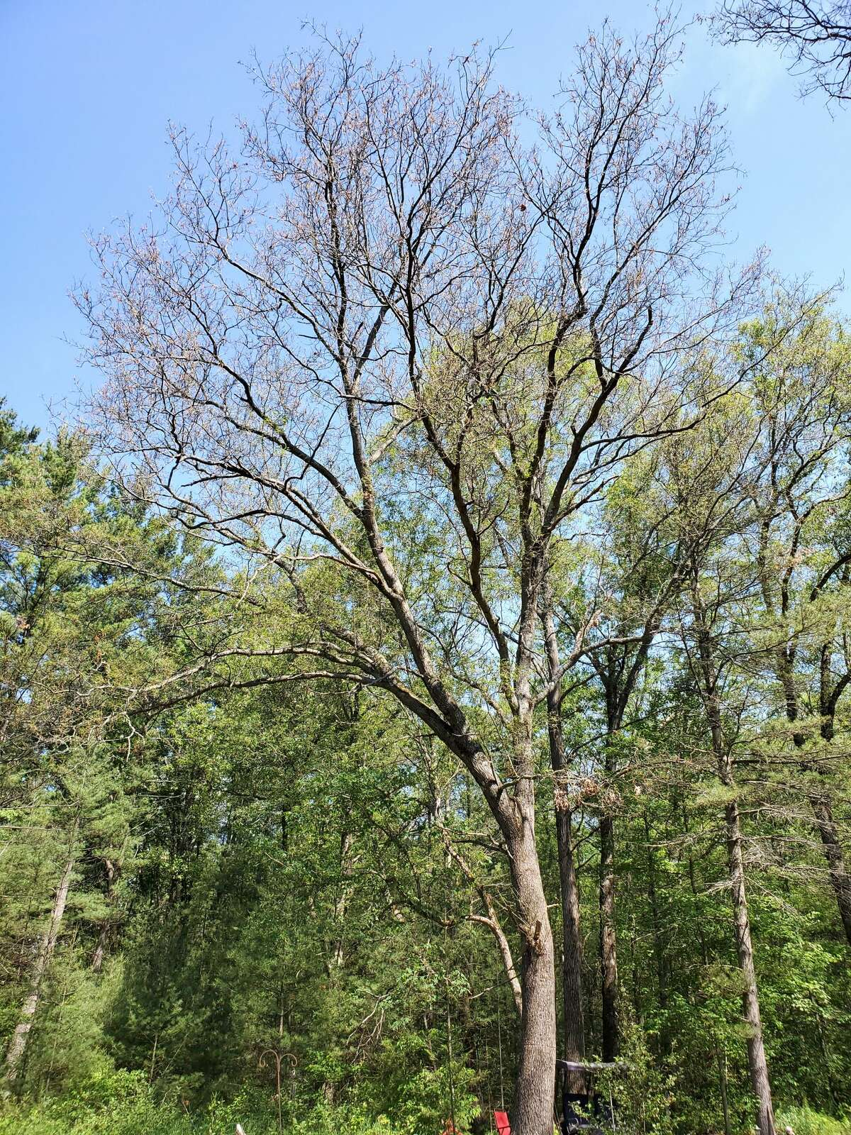 This tree on Mecosta County resident April Overzet's property has been completely defoliated by gypsy moth caterpillars feeding on the leaves. DNR experts say that the leaves of the effected trees will return in the next couple of weeks.