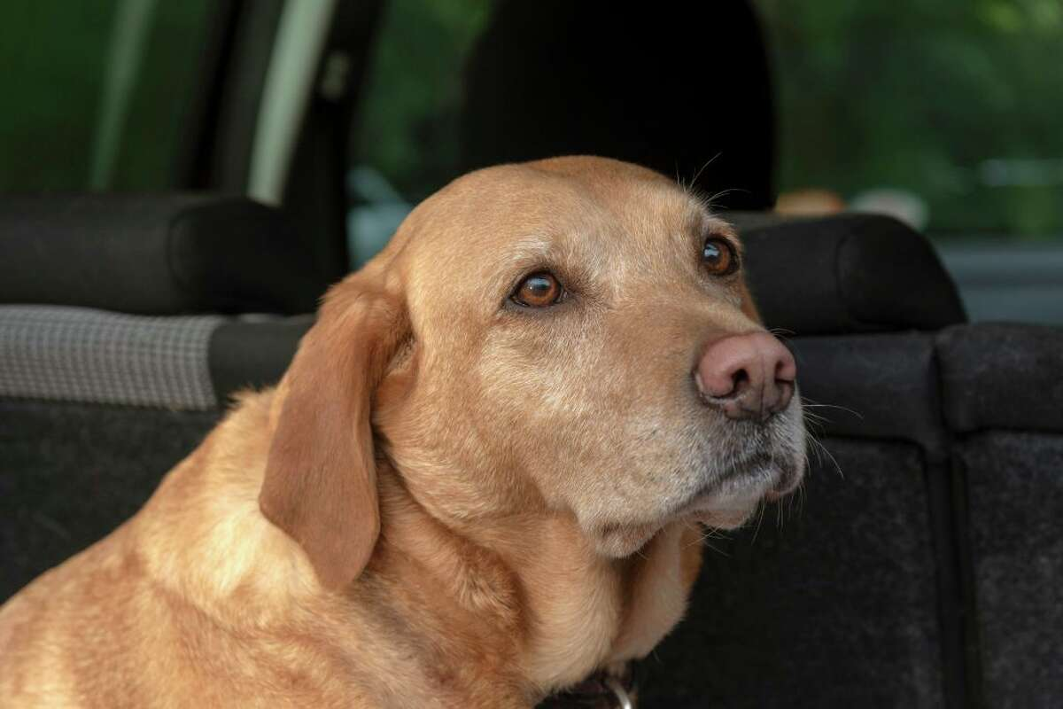 Portrait of a red Labrador Retriever sitting in the back of a car. (Photo by: Education Images/Universal Images Group via Getty Images)