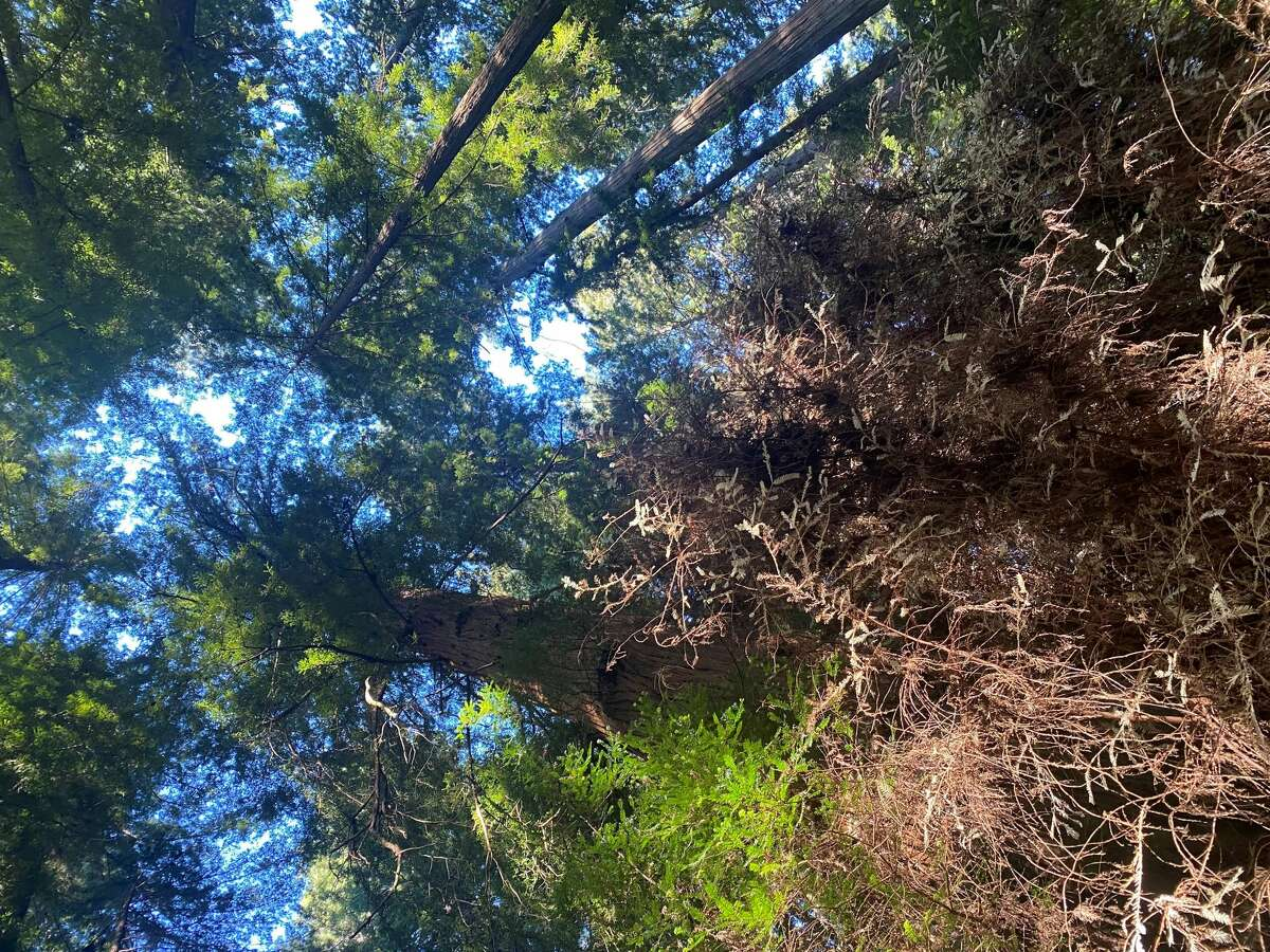The Christmas Tree in Humboldt Redwoods State Park looks brown instead of white, likely due to California's drought.