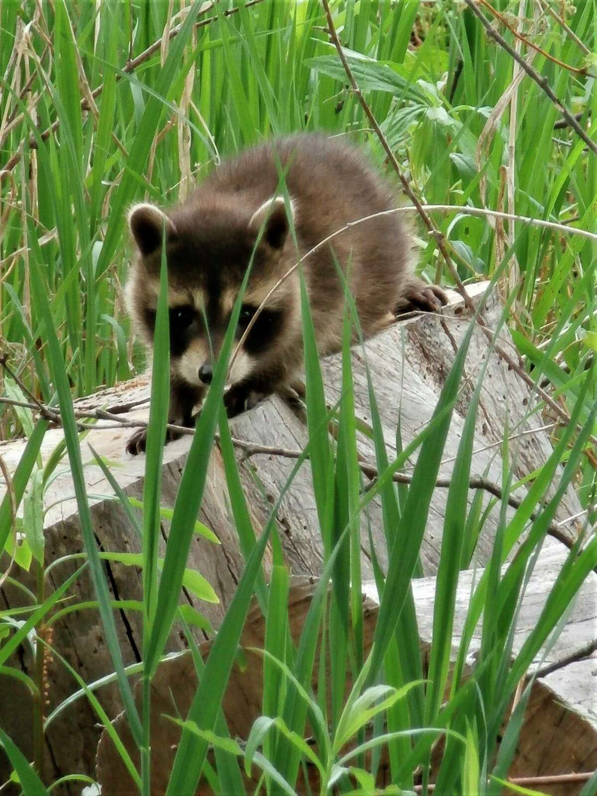 A baby racoonperches on a tree stump at the McLean Nature Preserve. (Photo provided)