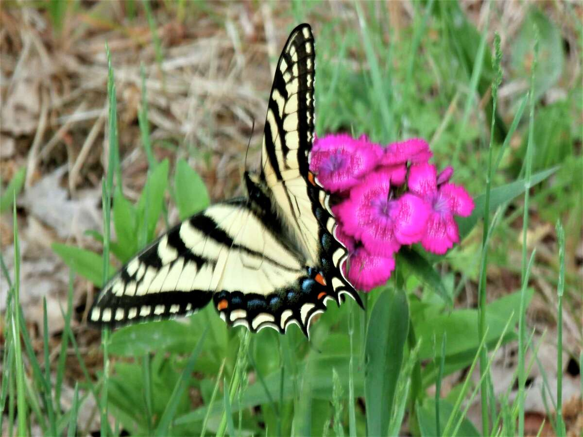 A yellow swallowtail butterfly perches on a sweet William plant at McLean Nature Preserve. (Photo provided)