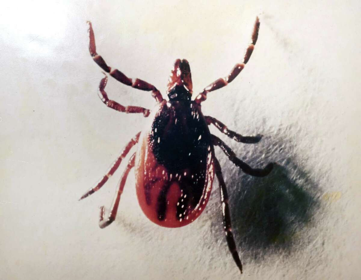 A photograph of an adult female deer tick at the Connecticut Agriculture Experiment Station's Jenkins-Waggoner Laboratory in New Haven on February 21, 2020.