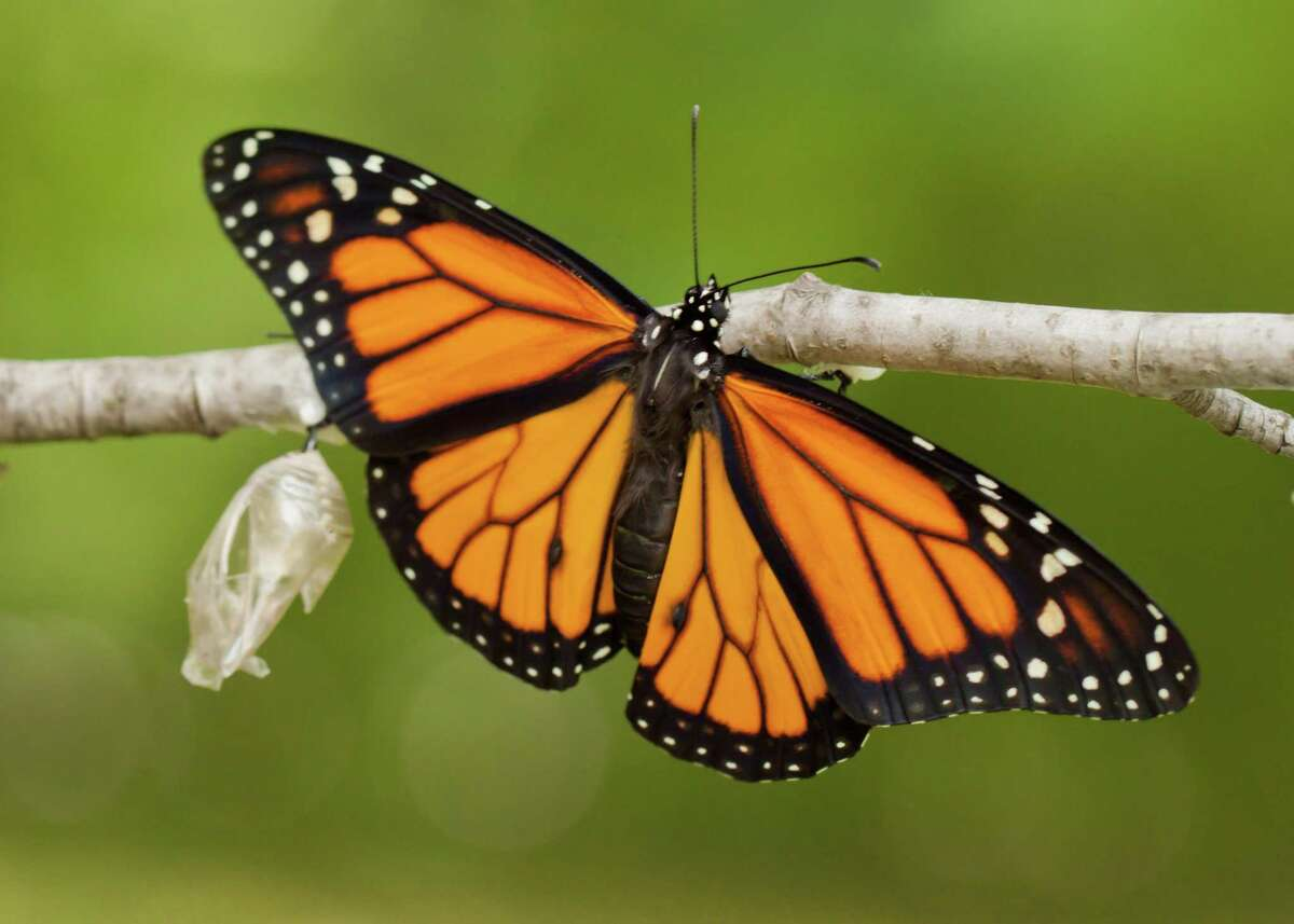 With monarch numbers in decline, researchers, citizen scientists and federal agencies are working to protect habitats to save the species. This newly emerged monarch butterfly dries its wings after emerging from its chrysalis.