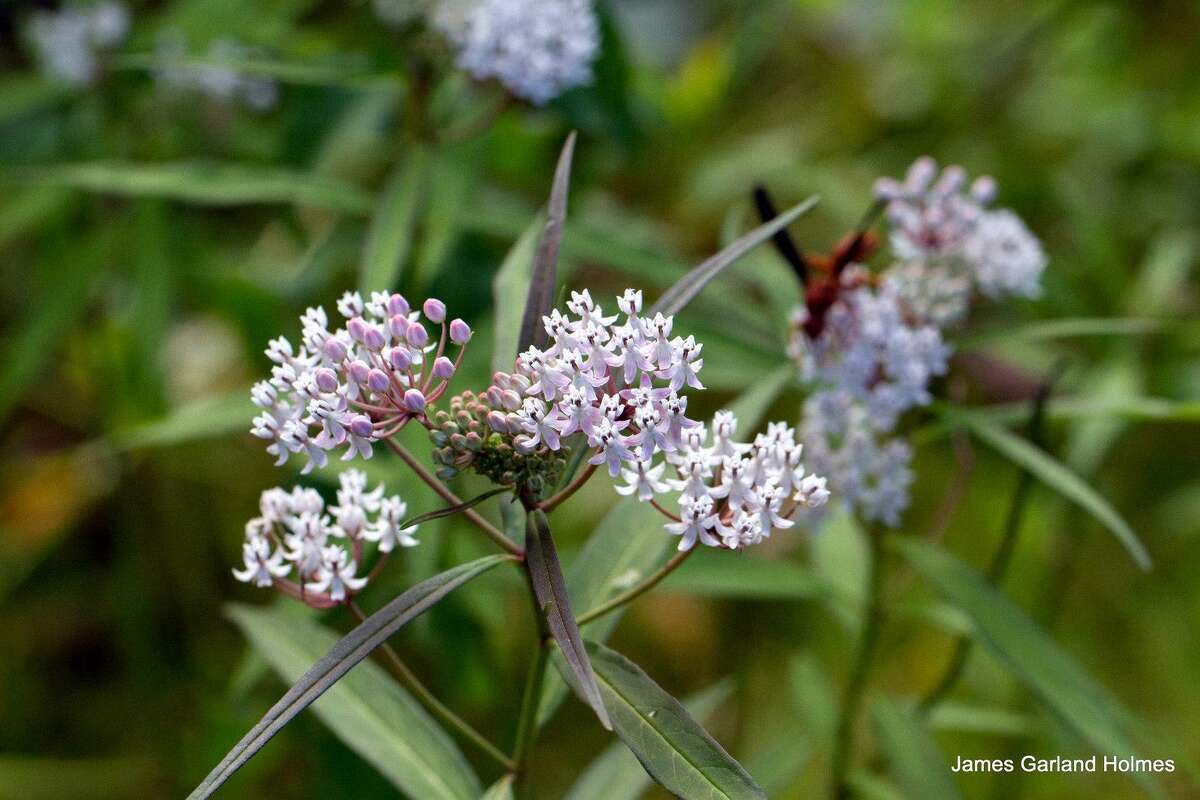 Aquatic milkweed: Aquatic milkweed is easy and fast to grow and does well in a pot.