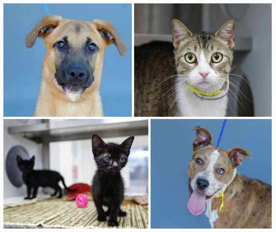 Sachary (A573387, upper left) is a 6-month-old, male, German Shepherd mix; Kaden (A574850, upper right) is a 1 1/2-year-old, male, gray tabby domestic shorthair cat; Teacup (A574261) is a 7-week-old, female, black domestic shorthair cat, along with her brother Spork (A574262), a 7-week-old male kitten; and Cypress (A574198, lower right) is a 6-month-old, male, brindle/white American Pit Bull Terrier mix. These and many more are available for adoption from Harris County Pets. Photographed Wednesday, June 16, 2021. Photo: Karen Warren, Staff Photographer / @2021 Houston Chronicle