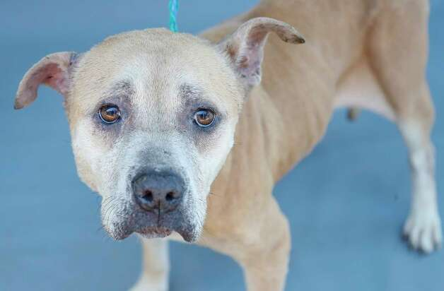 Sister (A576085) is a 6-year-old, female, Pit Bull mix available for adoption from Harris County Pets. Sister is a scared little girl, who was surrendered by her owner. Photo: Karen Warren, Staff Photographer / @2021 Houston Chronicle