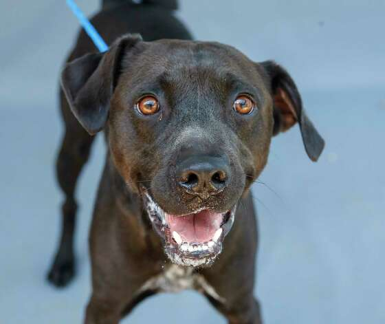 Samson (A575066) is a 2-year-old, male, black/white Labrador mix available for adoption from Harris County Pets. Samson was brought into the shelter as an owner surrender. The owner reports that he is great with women, small dogs, cats and children. He does not get along with bog dogs and can be reactive to some men. Photo: Karen Warren, Staff Photographer / @2021 Houston Chronicle