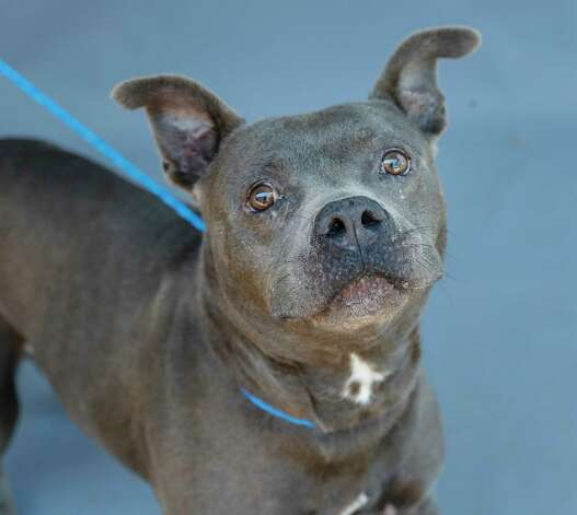 Gail (A575569) is a 4-year-old, female, gray American Staffordshire mix available for adoption from Harris County Pets. Gail was brought into the shelter as a stray, as she was brought in by a citizen, and would make an excellent foster candidate. She is a beautiful girl. Photo: Karen Warren, Staff Photographer / @2021 Houston Chronicle