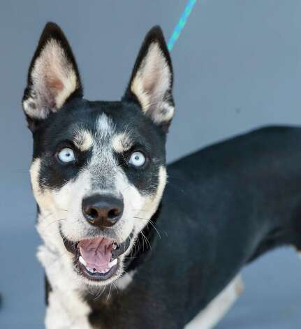 Alaska (A575227) is a 1-year-old, female, Alaskan Husky mix available for adoption from Harris County Pets. Alaska was brought in as a stray and was found running loose with another dog. She is stunningly beautiful and is only 42 pounds. Photo: Karen Warren, Staff Photographer / @2021 Houston Chronicle