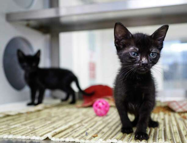 Teacup (A574261) is a 7-week-old, female, black domestic shorthair cat, along with her brother Spork (A574262), a 7-week-old male kitten are available for adoption from Harris County Pets. Teacup and Spork were brought into the shelter by an animal control officer after a citizen discovered them on a busy road. Photo: Karen Warren, Staff Photographer / @2021 Houston Chronicle