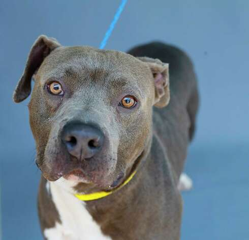 Gabe (A573534) is a 5-year-old, male, gray/white American Pit Bull terrier mix available for adoption from Harris County Pets. Gabe was brought into the shelter as a stray. He is a sweet boy who loves cuddles and treats. Photo: Karen Warren, Staff Photographer / @2021 Houston Chronicle
