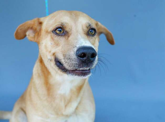 Denver (A573901) is a 4-year-old, female, Labrador and American Staffordshire mix available for adoption from Harris County Pets. Denver was brought into the shelter as a stray and is heartworm positive. Photo: Karen Warren, Staff Photographer / @2021 Houston Chronicle