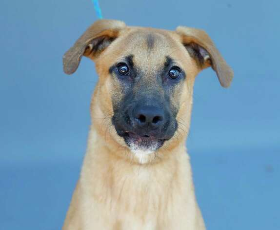 Sachary (A573387) is a 6-monthr-old, male, German Shepherd mix available for adoption from Harris County Pets. Sachary was surrendered by his owner after only two weeks, as the owner decided they did not have time for a dog. Sachary is a sweet pup who could use some TLC and attention. Loves men and women, and would be a good fit in a home without other dogs. Photo: Karen Warren, Staff Photographer / @2021 Houston Chronicle