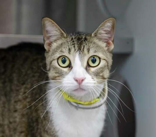 Kaden (A574850) is a 1 1/2-year-old, male, gray tabby domestic shorthair cat available for adoption from Harris County Pets. Kaden was brought into the shelter as an owner surrender, as her owner said she could no longer afford to care for him any longer. Kaden is litterbox trained and gets along with men, women, children as well as other cats and dogs. Kaden is a very chill cat. Photo: Karen Warren, Staff Photographer / @2021 Houston Chronicle